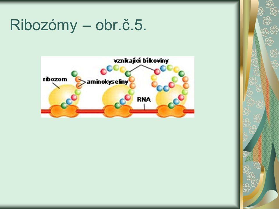 Ribozómy – obr.č.5.