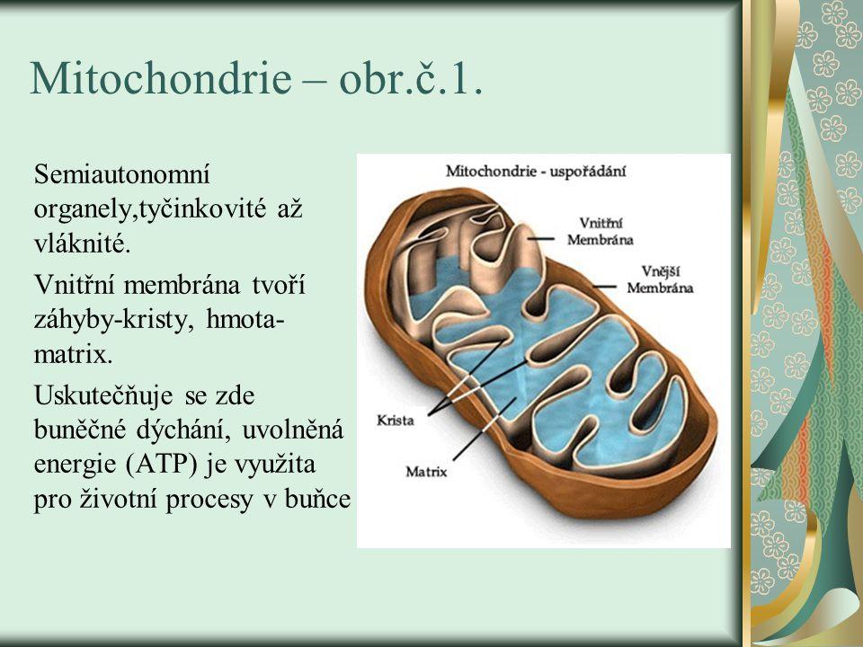 Mitochondrie – obr.č.1. Semiautonomní organely,tyčinkovité až vláknité. Vnitřní membrána tvoří záhyby-kristy, hmota- matrix. Uskutečňuje se zde buněčn
