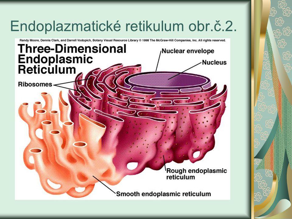 Endoplazmatické retikulum-systém kanálků a váčků navazující na jádro hladké – je bez ribozómů a slouží k syntéze lipidů a sacharidů drsné – s ribozómy, slouží k proteosyntéze