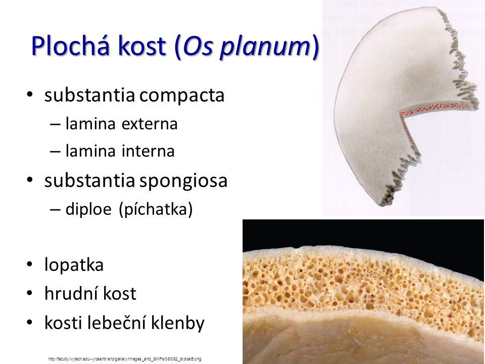Plochá kost (Os planum) substantia compacta – lamina externa – lamina interna substantia spongiosa – diploe (píchatka) lopatka hrudní kost kosti lebeč