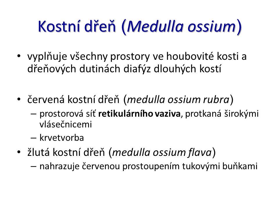 Kostní dřeň ( Medulla ossium ) vyplňuje všechny prostory ve houbovité kosti a dřeňových dutinách diafýz dlouhých kostí červená kostní dřeň ( medulla o