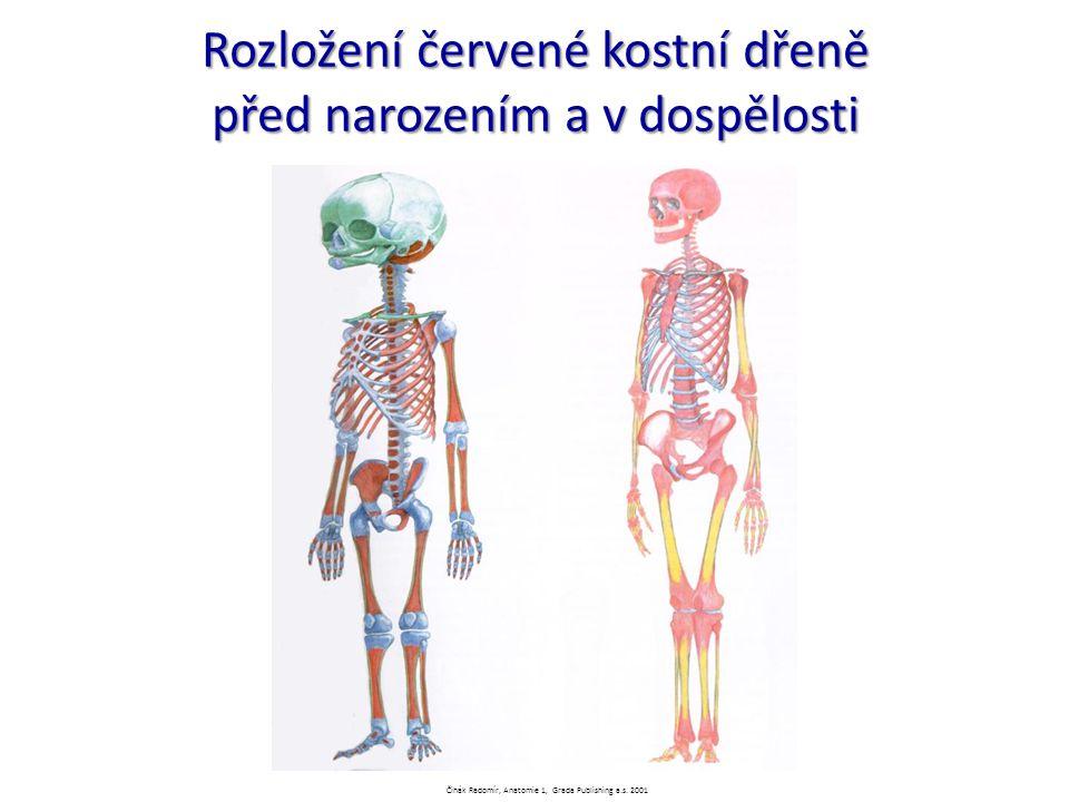 Rozložení červené kostní dřeně před narozením a v dospělosti Čihák Radomír, Anatomie 1, Grada Publishing a.s. 2001