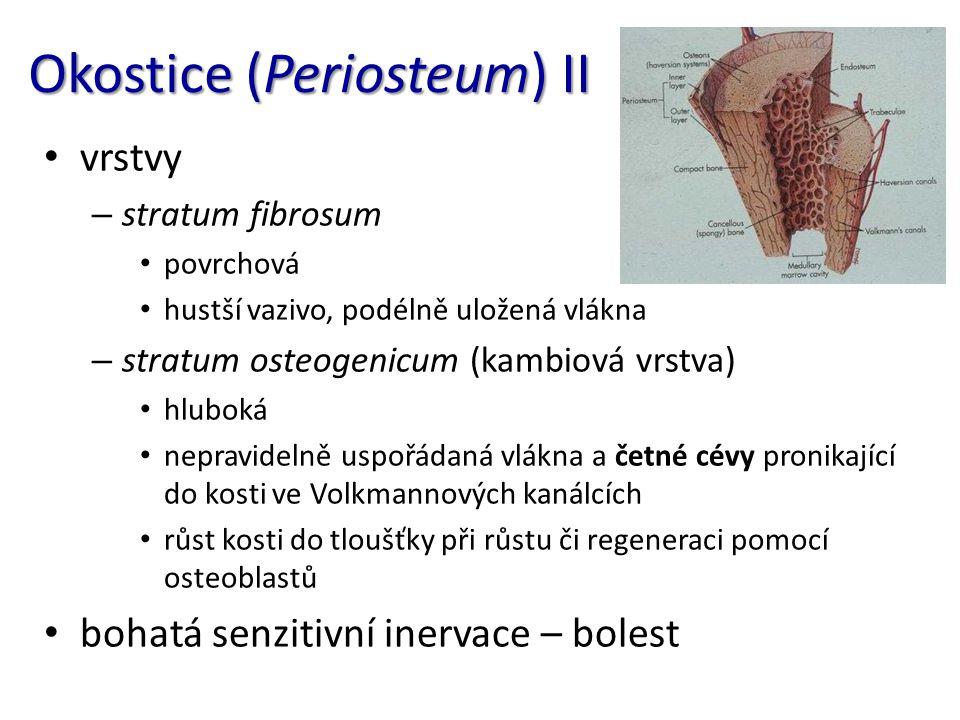 Okostice (Periosteum) II vrstvy – stratum fibrosum povrchová hustší vazivo, podélně uložená vlákna – stratum osteogenicum (kambiová vrstva) hluboká ne