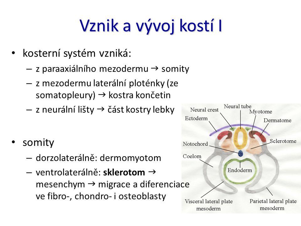 Vznik a vývoj kostí I kosterní systém vzniká: – z paraaxiálního mezodermu  somity – z mezodermu laterální ploténky (ze somatopleury)  kostra končeti