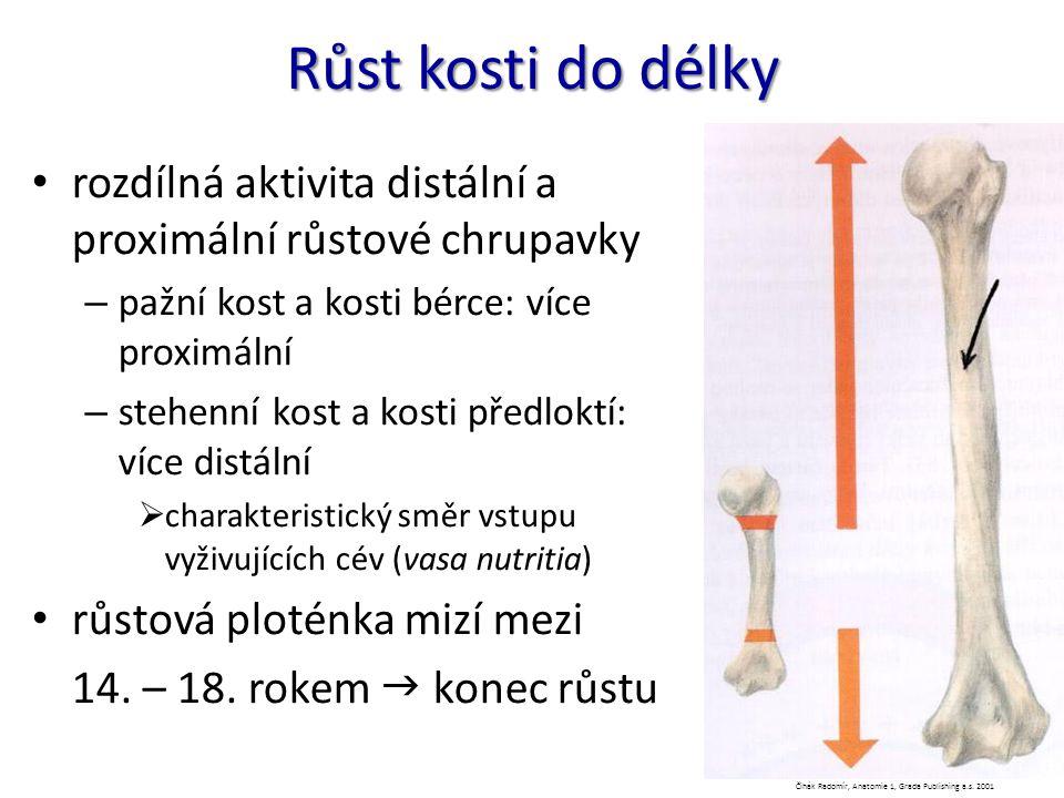 Růst kosti do délky rozdílná aktivita distální a proximální růstové chrupavky – pažní kost a kosti bérce: více proximální – stehenní kost a kosti před