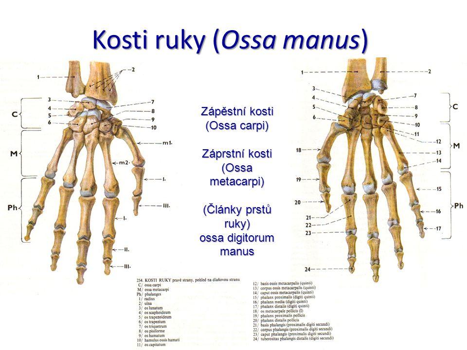 Kosti ruky (Ossa manus) Zápěstní kosti (Ossa carpi) Záprstní kosti (Ossa metacarpi) (Články prstů ruky) ossa digitorum manus