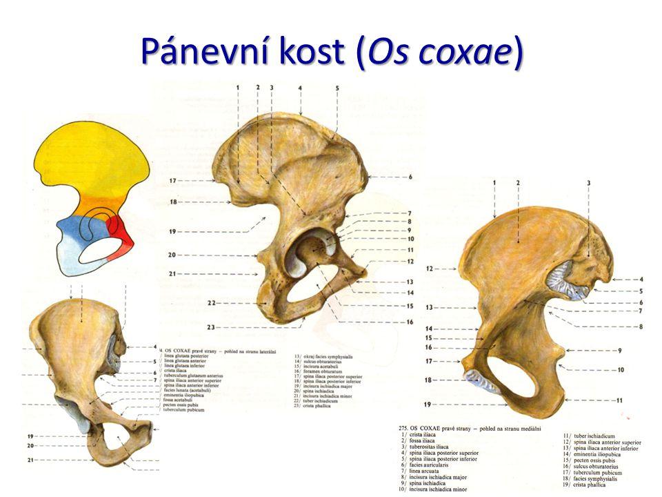 Pánevní kost (Os coxae)