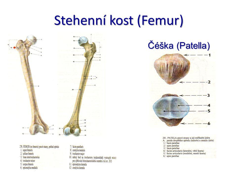 Stehenní kost (Femur) Čéška (Patella)