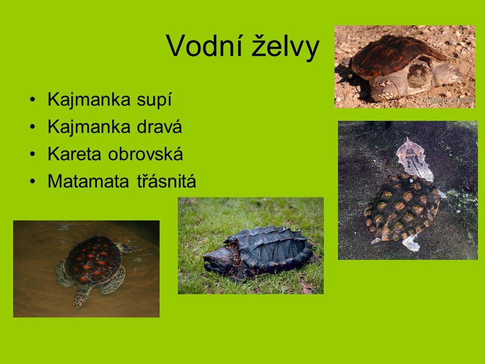 Vodní želvy Kajmanka supí Kajmanka dravá Kareta obrovská Matamata třásnitá