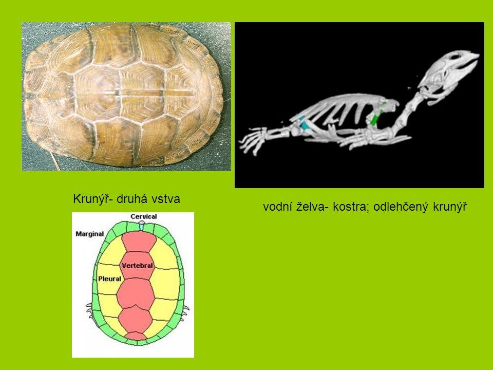 Krunýř- druhá vstva vodní želva- kostra; odlehčený krunýř
