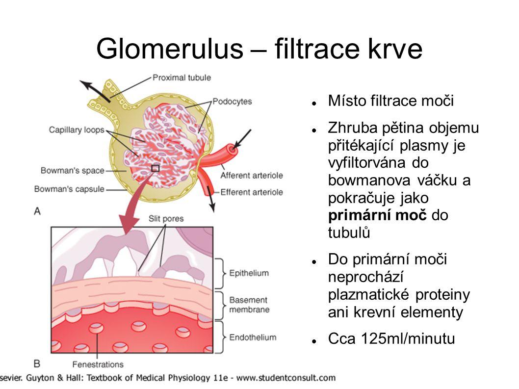 Glomerulus – filtrace krve Místo filtrace moči Zhruba pětina objemu přitékající plasmy je vyfiltorvána do bowmanova váčku a pokračuje jako primární mo