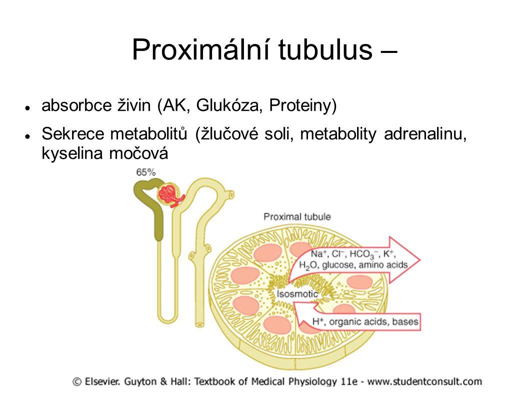 Proximální tubulus – absorbce živin (AK, Glukóza, Proteiny) Sekrece metabolitů (žlučové soli, metabolity adrenalinu, kyselina močová