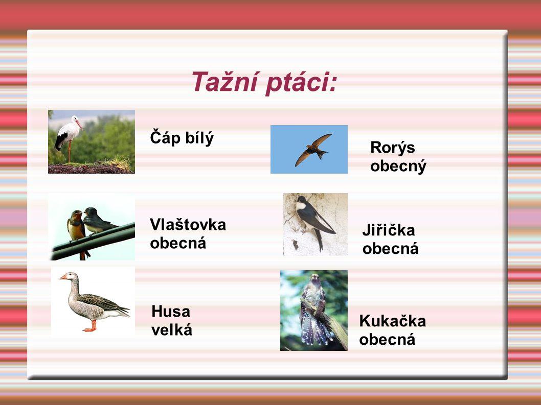 Tažní ptáci: Čáp bílý Vlaštovka obecná Husa velká Rorýs obecný Jiřička obecná Kukačka obecná