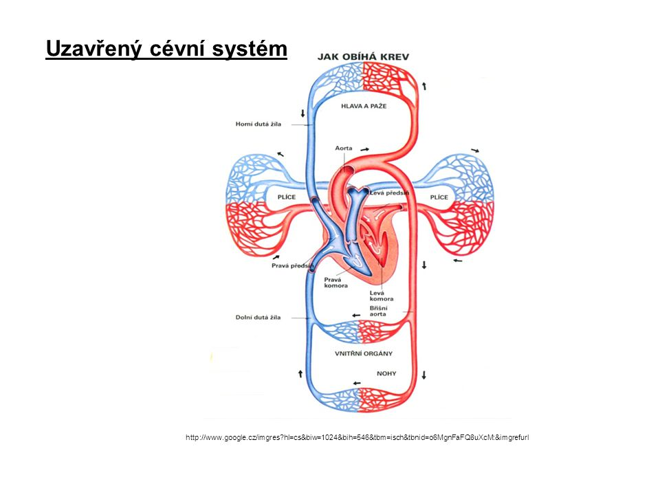 http://www.google.cz/imgres?hl=cs&biw=1024&bih=546&tbm=isch&tbnid=o6MgnFaFQ8uXcM:&imgrefurl Uzavřený cévní systém