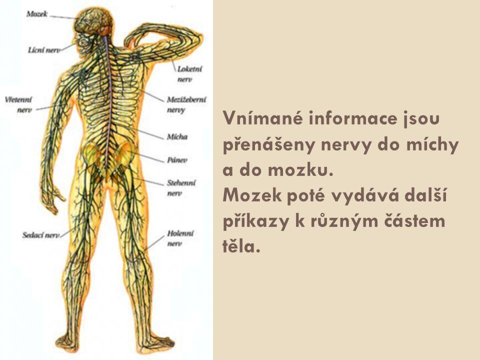 Vnímané informace jsou přenášeny nervy do míchy a do mozku. Mozek poté vydává další příkazy k různým částem těla.
