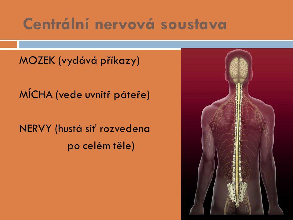 Centrální nervová soustava  MOZEK (vydává příkazy)  MÍCHA (vede uvnitř páteře)  NERVY (hustá síť rozvedena po celém těle)