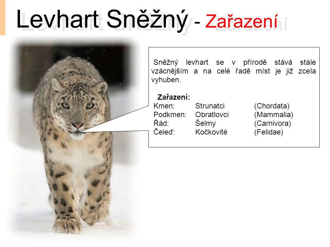 Levhart Sněžný - Zařazení Sněžný levhart se v přírodě stává stále vzácnějším a na celé řadě míst je již zcela vyhuben. Zařazení: Kmen:Strunatci(Chorda