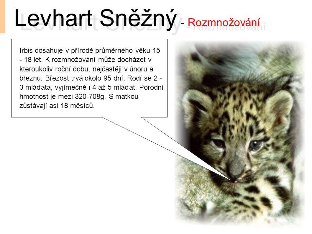 Levhart Sněžný - Rozmnožování Irbis dosahuje v přírodě průměrného věku 15 - 18 let. K rozmnožování může docházet v kteroukoliv roční dobu, nejčastěji