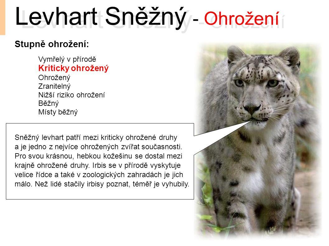 Levhart Sněžný - Ohrožení Sněžný levhart patří mezi kriticky ohrožené druhy a je jedno z nejvíce ohrožených zvířat současnosti. Pro svou krásnou, hebk