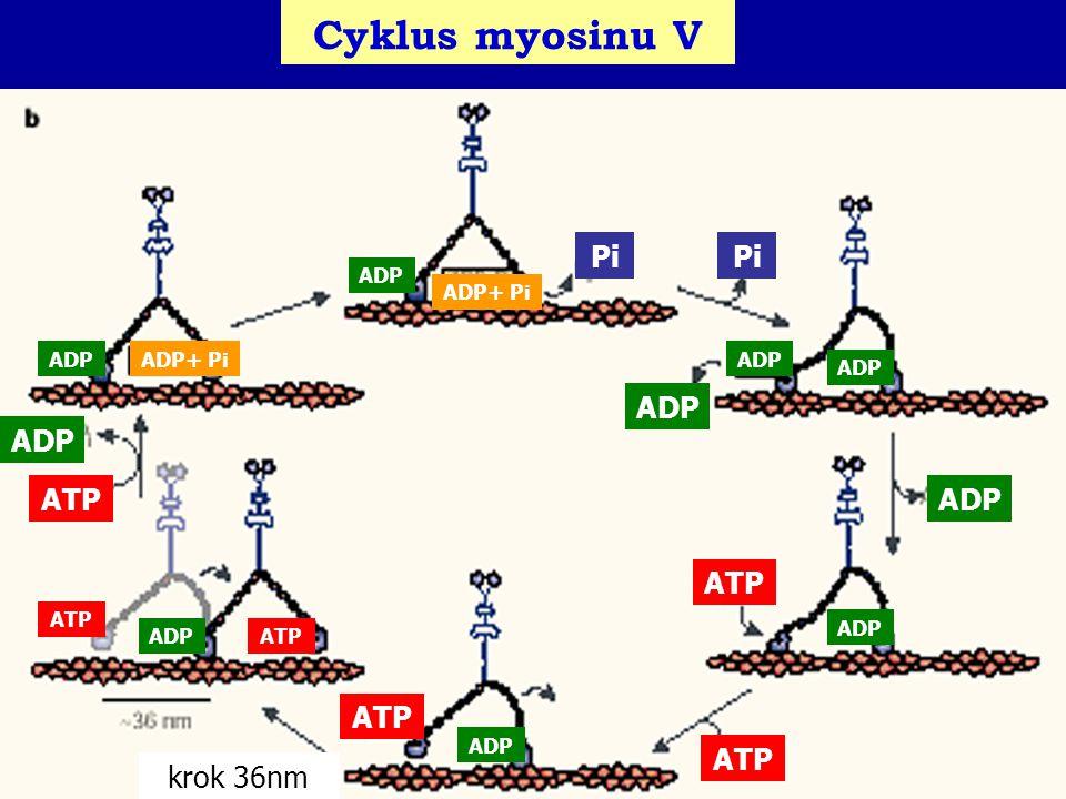 Cyklus myosinu V ATP ADP ATPADP Pi ADP ATP ADP krok 36nm ADP ADP+ Pi