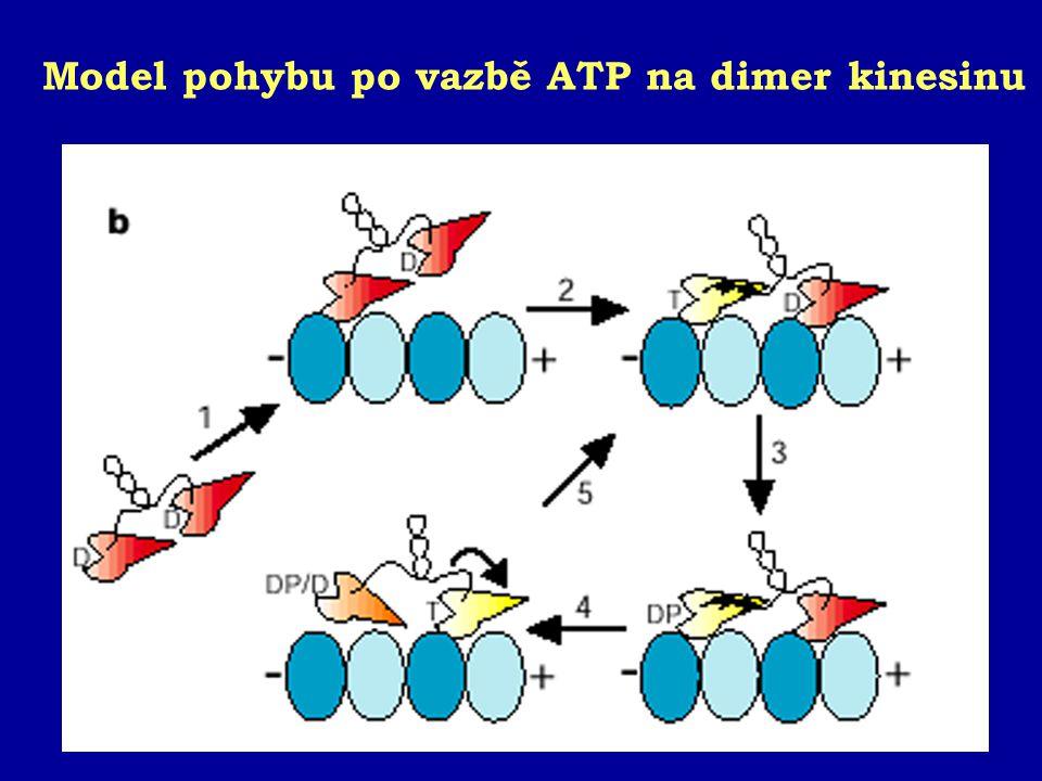 Model pohybu po vazbě ATP na dimer kinesinu