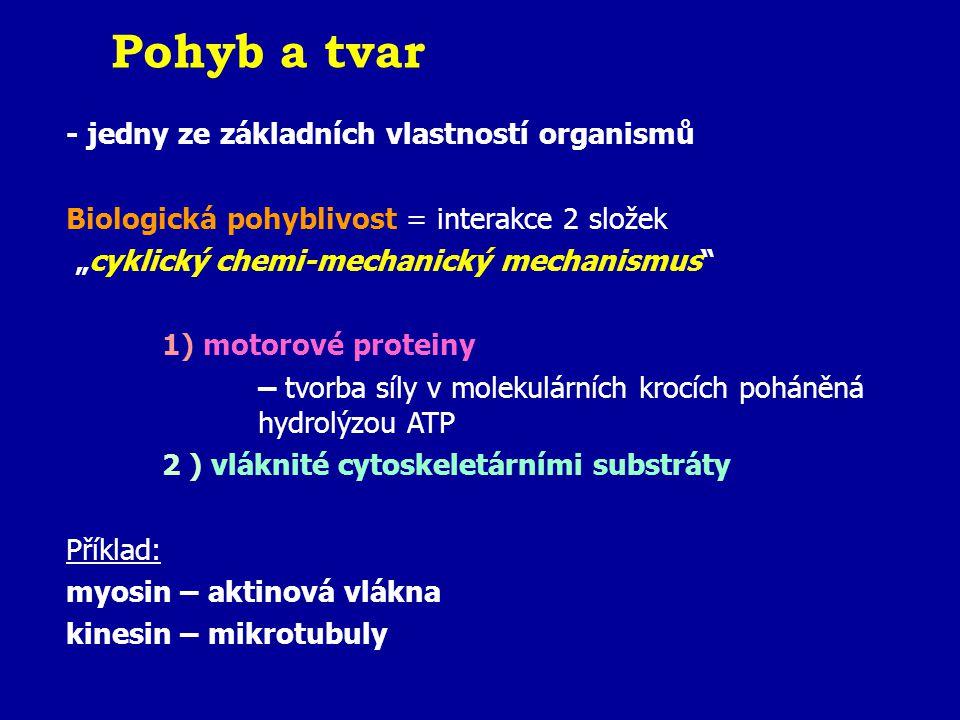 """Pohyb a tvar - jedny ze základních vlastností organismů Biologická pohyblivost = interakce 2 složek """"cyklický chemi-mechanický mechanismus 1) motorové proteiny – tvorba síly v molekulárních krocích poháněná hydrolýzou ATP 2 ) vláknité cytoskeletárními substráty Příklad: myosin – aktinová vlákna kinesin – mikrotubuly"""