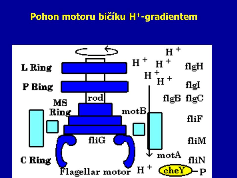 Pohon motoru bičíku H + -gradientem