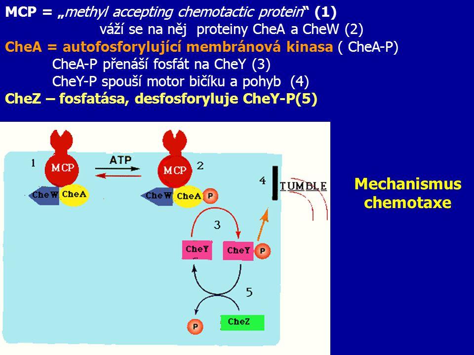 """Mechanismus chemotaxe MCP = """"methyl accepting chemotactic protein"""" (1) váží se na něj proteiny CheA a CheW (2) CheA = autofosforylující membránová kin"""