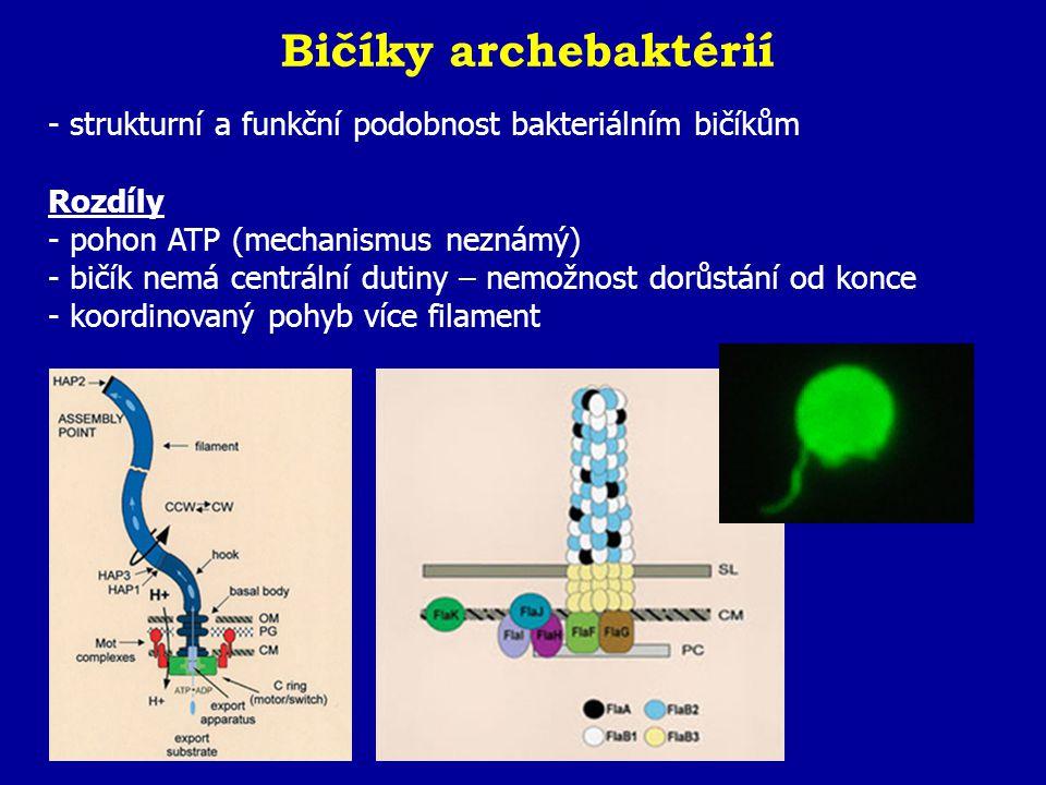 Bičíky archebaktérií - strukturní a funkční podobnost bakteriálním bičíkům Rozdíly - pohon ATP (mechanismus neznámý) - bičík nemá centrální dutiny – n