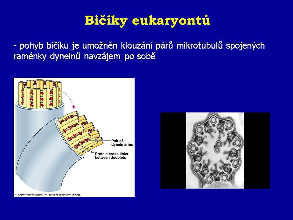 Bičíky eukaryontů - pohyb bičíku je umožněn klouzání párů mikrotubulů spojených raménky dyneinů navzájem po sobě