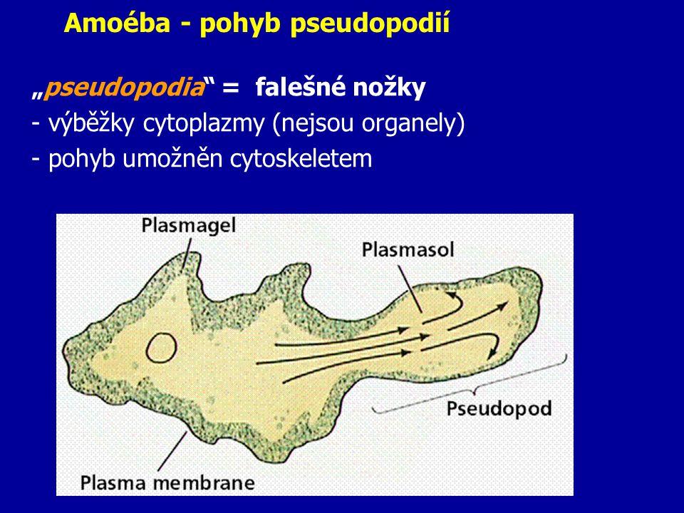 """Amoéba - pohyb pseudopodií """"pseudopodia"""" = falešné nožky - výběžky cytoplazmy (nejsou organely) - pohyb umožněn cytoskeletem"""