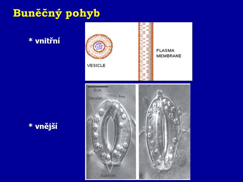 Udržování tvaru - cytoskeleton Mikrofilamenta - 2 spletená aktinová vlákna - průměr 7nm - až 7 cm dlouhé - pohyb pseupodií (Amoebae) Střední filamenta - 8 spletených mikrofilament - odolnost vůči mechanickému namáhání Mikrotubuly - pohyb organel, cilií a bičíků - pohyb chromozómů při buněčném dělení