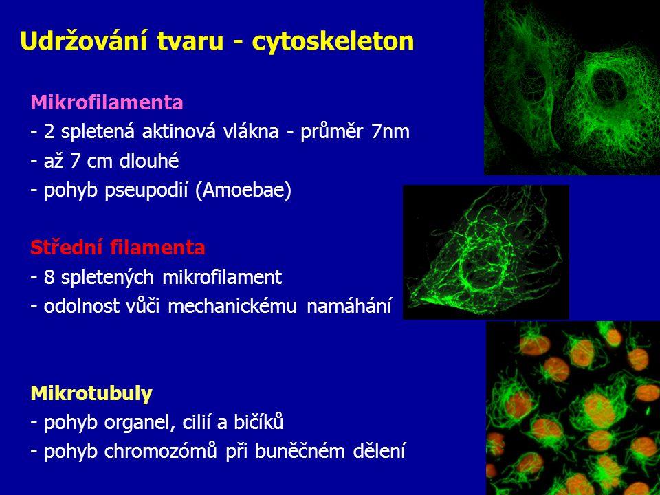 Udržování tvaru - cytoskeleton Mikrofilamenta - 2 spletená aktinová vlákna - průměr 7nm - až 7 cm dlouhé - pohyb pseupodií (Amoebae) Střední filamenta
