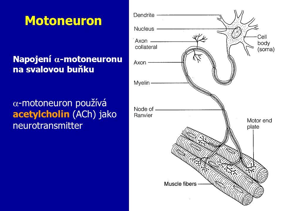 Motoneuron Napojení  -motoneuronu na svalovou buňku  -motoneuron používá acetylcholin (ACh) jako neurotransmitter