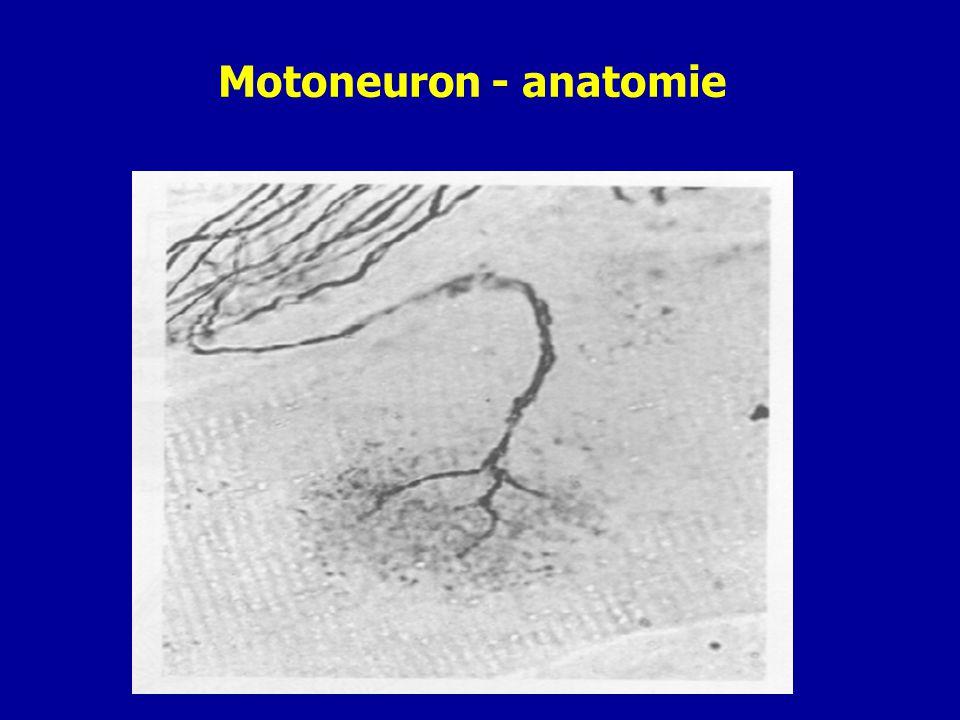 Motoneuron - anatomie