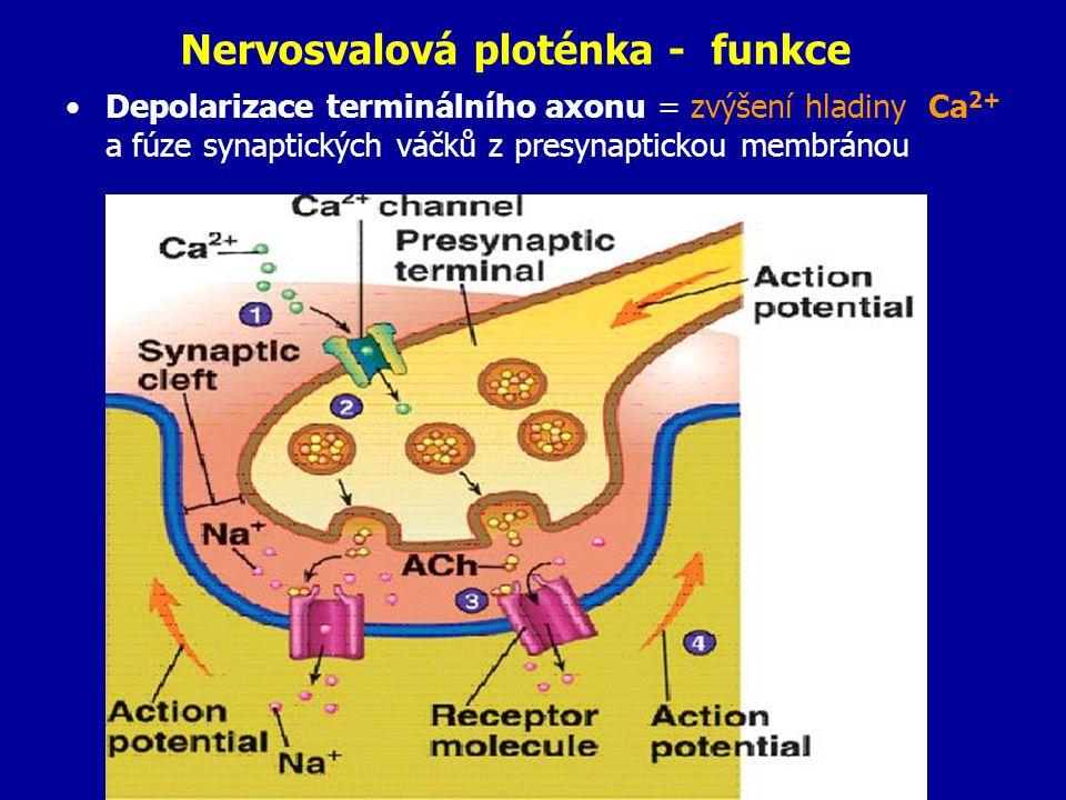 Nervosvalová ploténka - funkce Depolarizace terminálního axonu = zvýšení hladiny Ca 2+ a fúze synaptických váčků z presynaptickou membránou