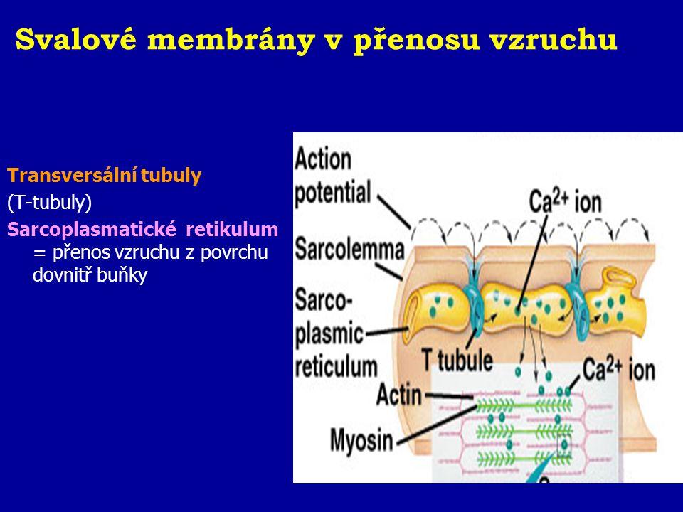 Svalové membrány v přenosu vzruchu Transversální tubuly (T-tubuly) Sarcoplasmatické retikulum = přenos vzruchu z povrchu dovnitř buňky