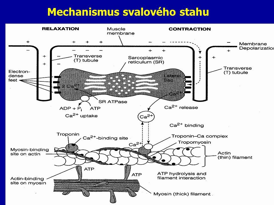 Mechanismus svalového stahu