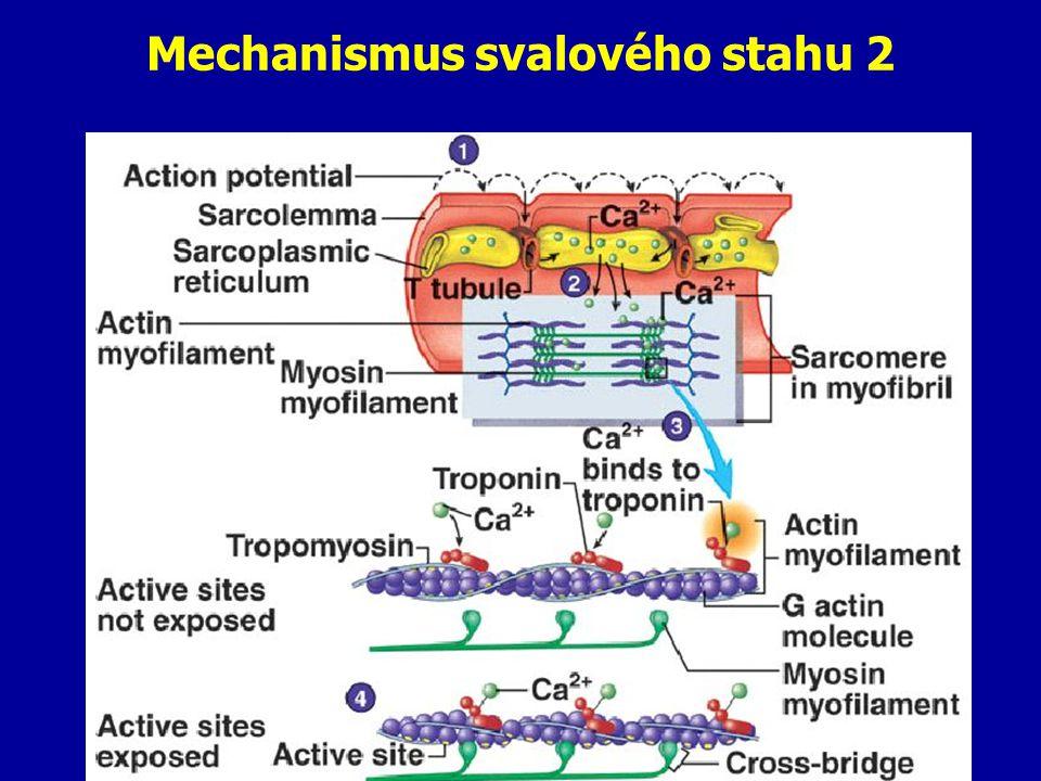 Mechanismus svalového stahu 2