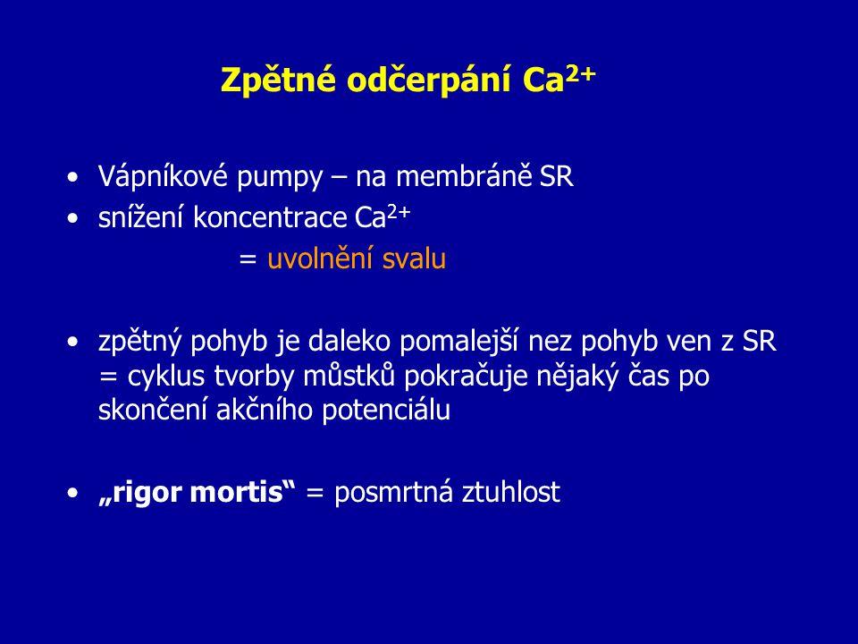 """Zpětné odčerpání Ca 2+ Vápníkové pumpy – na membráně SR snížení koncentrace Ca 2+ = uvolnění svalu zpětný pohyb je daleko pomalejší nez pohyb ven z SR = cyklus tvorby můstků pokračuje nějaký čas po skončení akčního potenciálu """"rigor mortis = posmrtná ztuhlost"""