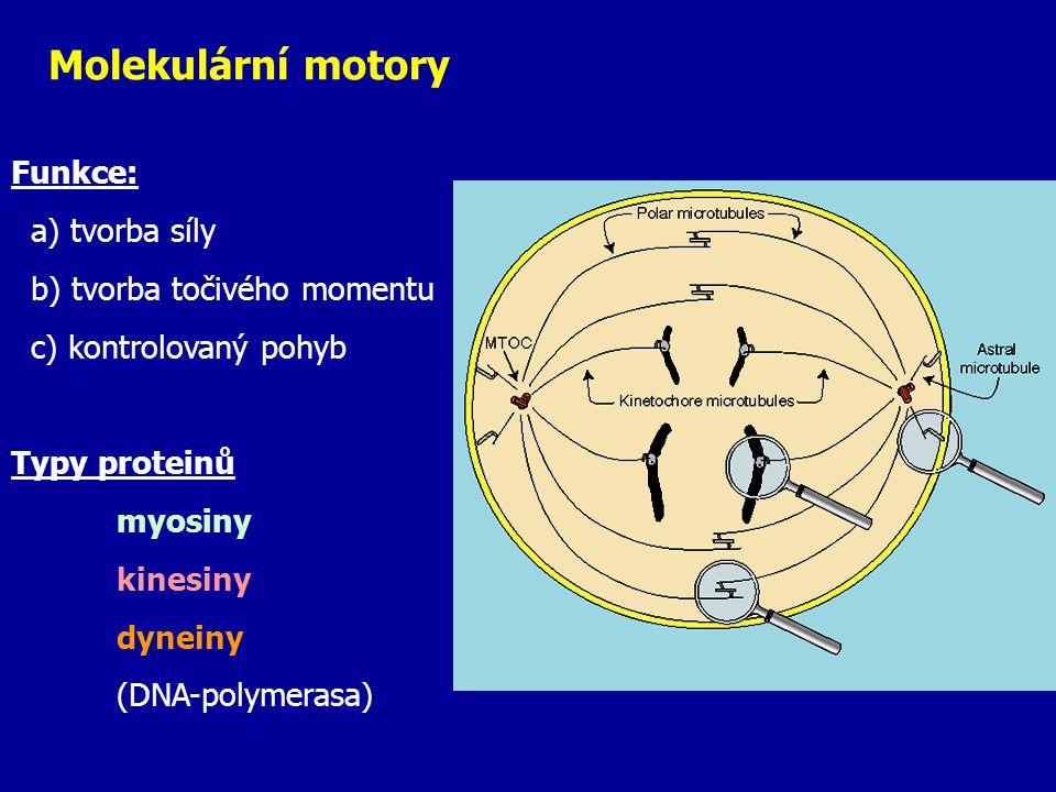Dynein Dynein – posun subcelulárního materiálu podél mikrotubul - pohyb od (+) směrem k (-) konci mikrotubulu - jeden krok = hydrolýza 1 molekuly ATP - pohyb do středu buňky x při mitóze do středu dceřinných buněk kinesin opačným směrem !!