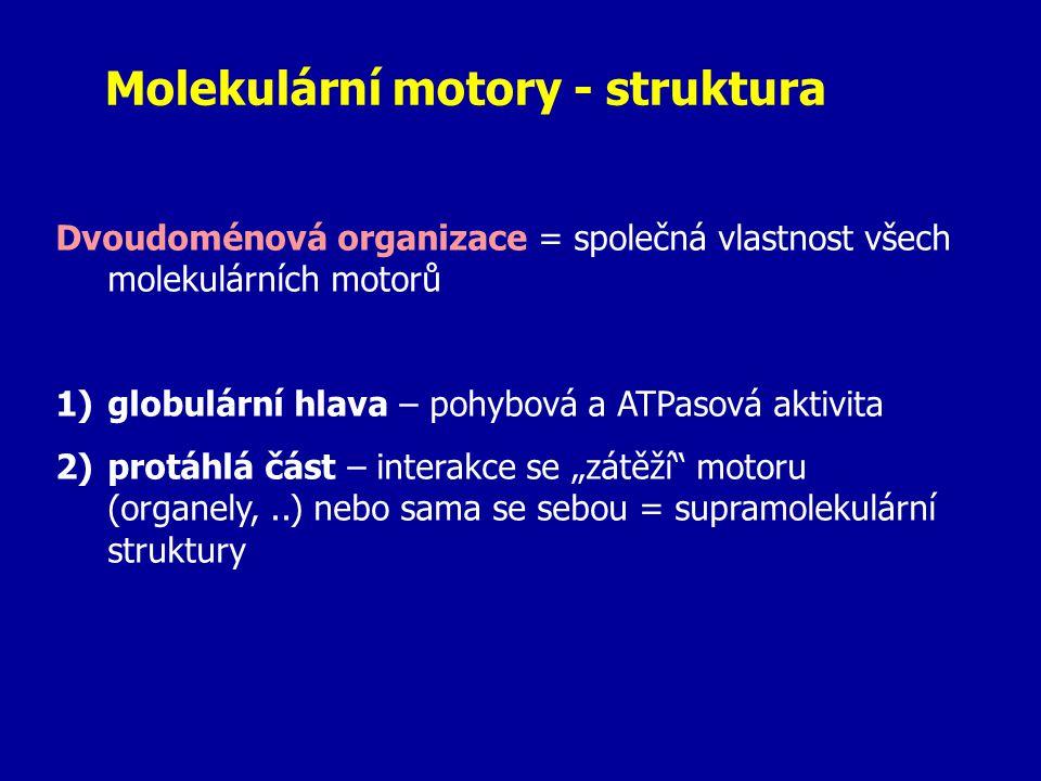 Kinesin - pohyb od (-) směrem k (+) konci mikrotubulu - směrem k vnějším částem buňky - specifická funkce v nervech: = přesun materiálu z těla neuronu do zakončení