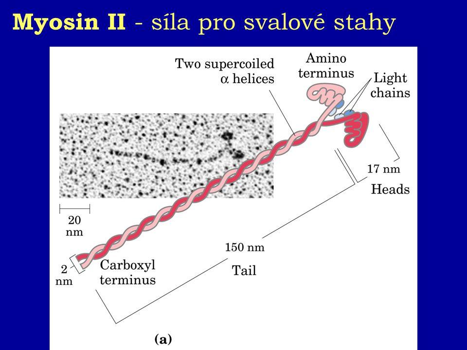 Myosin II - síla pro svalové stahy