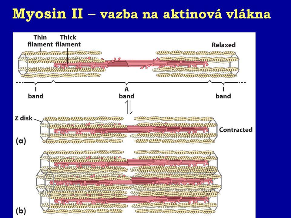 Konformační změna myosinu II Hydrolýza ATP