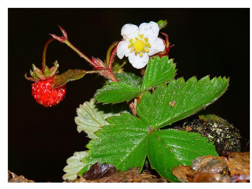 Jahodník obecný je vytrvalá bylina  trojčetné listy jsou dlouze řapíkaté  bílé květy jsou v květenství  kvete od dubna do září  nepravé plody jsou sladké, červené jahody, jde o souplodí nažek na zdužnatělém květním lůžku