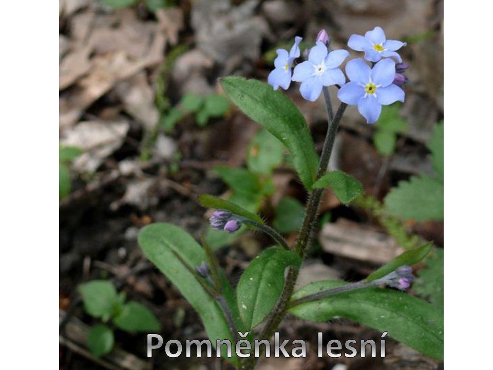 Pomněnka lesní je dvouletá i víceletá bylina ‴ lodyhy jsou hustě chlupaté ‴ drobné, blankytně modré kvítky skládají květenství ‴ koruna květu je zpočátku růžová, někdy bílá, později blankytně modrá, se žlutým středem ‴ kvete od května do září ‴ pěstuje se také v mnoha zahradních odrůdách