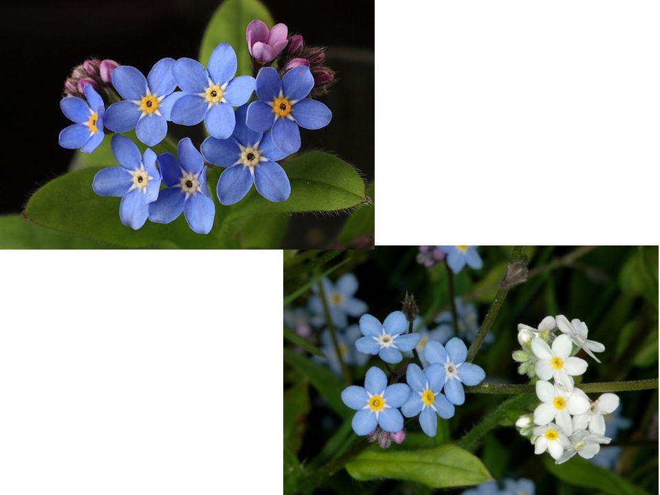Vřes obecný je vždyzelený keřík.o Listy jsou drobné, úzké až čárkovité.
