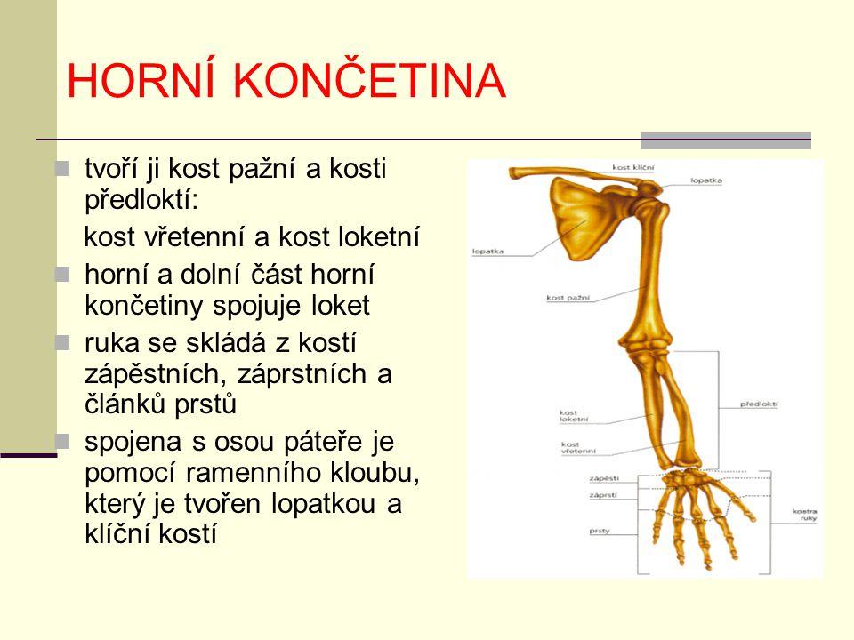 HORNÍ KONČETINA tvoří ji kost pažní a kosti předloktí: kost vřetenní a kost loketní horní a dolní část horní končetiny spojuje loket ruka se skládá z
