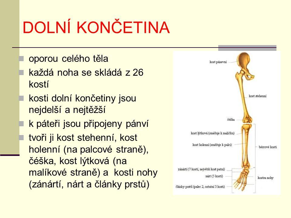 DOLNÍ KONČETINA oporou celého těla každá noha se skládá z 26 kostí kosti dolní končetiny jsou nejdelší a nejtěžší k páteři jsou připojeny pánví tvoři ji kost stehenní, kost holenní (na palcové straně), čéška, kost lýtková (na malíkové straně) a kosti nohy (zánártí, nárt a články prstů)