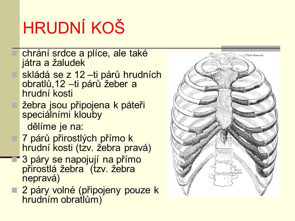 HRUDNÍ KOŠ chrání srdce a plíce, ale také játra a žaludek skládá se z 12 –ti párů hrudních obratlů,12 –ti párů žeber a hrudní kosti žebra jsou připojena k páteři speciálními klouby dělíme je na: 7 párů přirostlých přímo k hrudní kosti (tzv.